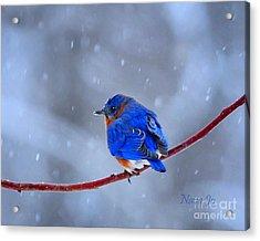 Snowy Bluebird Acrylic Print by Nava Thompson