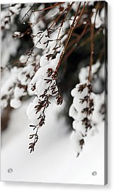 Snowy Branches Acrylic Print by Elena Elisseeva