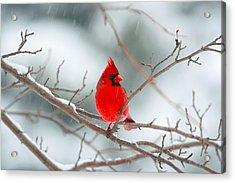 Snowy Cardinal Acrylic Print by Karol Livote