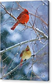 Snowy Cardinal Pair Acrylic Print by Clare VanderVeen