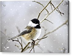 Snowy Chickadee Bird Acrylic Print by Christina Rollo