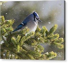 Snowy Day Blue Jay Acrylic Print