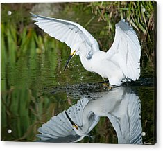 Acrylic Print featuring the photograph Snowy Egret by Avian Resources