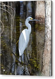 Snowy Egret Big Cypress Swamp Acrylic Print