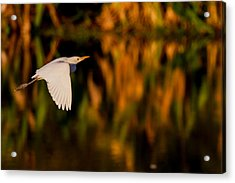 Snowy Egret Climbing Up To The Sky Acrylic Print