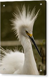 Snowy Egret Display Acrylic Print