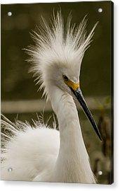 Snowy Egret Display Acrylic Print