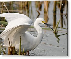 Acrylic Print featuring the photograph Snowy Egret by Doug Herr