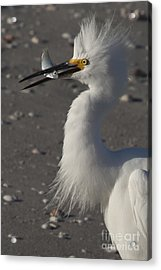 Snowy Egret Fishing Acrylic Print by Meg Rousher