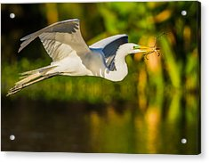 Snowy Egret Flying With A Branch Acrylic Print