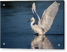 Snowy Egret Frolicking In The Water Acrylic Print