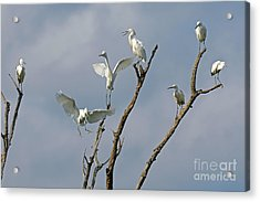 Acrylic Print featuring the photograph Snowy Egret Inn by Olivia Hardwicke