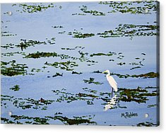 Snowy Egret Acrylic Print by Mike Robles