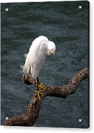 Snowy Egret Out On A Limb Acrylic Print