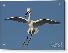 Acrylic Print featuring the photograph Snowy Egret Photo by Meg Rousher