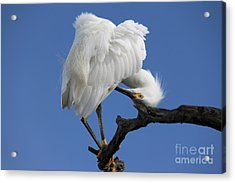 Acrylic Print featuring the photograph Snowy Egret Photograph by Meg Rousher