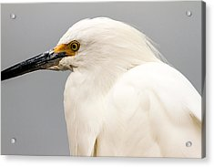 Snowy Egret Profile Acrylic Print