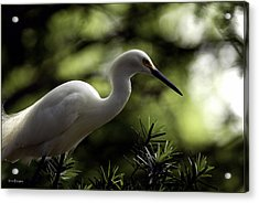 Acrylic Print featuring the photograph Snowy Egret by Travis Burgess