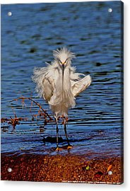 Snowy Egret With Yellow Feet Acrylic Print