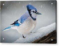 Snowy Jay Acrylic Print