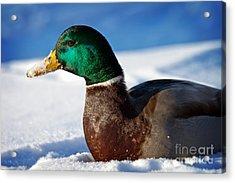 Snowy Mallard Acrylic Print by Eleanor Abramson