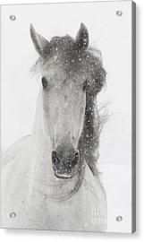 Snowy Mare Acrylic Print