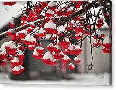 Acrylic Print featuring the photograph Snowy Mountain Ash Berries by Fran Riley