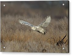 Acrylic Print featuring the photograph Snowy On The Wing by Daniel Behm