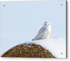 Acrylic Print featuring the photograph Snowy Owl by Alyce Taylor