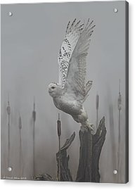 Snowy Owl Blastoff Acrylic Print by Daniel Behm