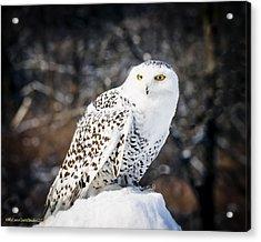Snowy Owl Cold Stare Acrylic Print by LeeAnn McLaneGoetz McLaneGoetzStudioLLCcom