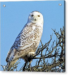 Acrylic Print featuring the photograph Snowy Owl by Constantine Gregory