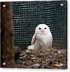 Acrylic Print featuring the photograph Snowy Owl by Courtney Webster
