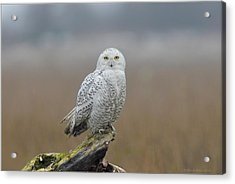 Acrylic Print featuring the photograph Snowy Owl  by Daniel Behm