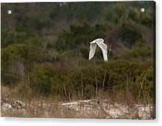 Acrylic Print featuring the photograph Snowy Owl Dune Flight by Paul Rebmann