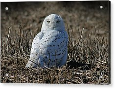 Snowy Owl Acrylic Print by E B Schmidt
