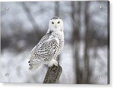 Snowy Owl Acrylic Print by Eunice Gibb