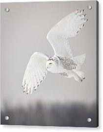 Snowy Owl In Flight 4 Acrylic Print