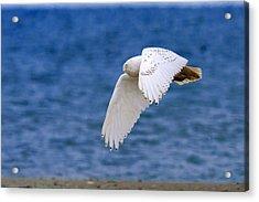 Snowy Owl In Flight Acrylic Print by Aaron Smith