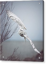 Snowy Owl In Flight Acrylic Print