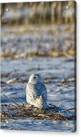 Snowy Owl In Snowy Field Acrylic Print