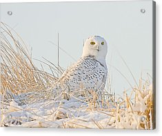 Snowy Owl In The Snow Covered Dunes Acrylic Print