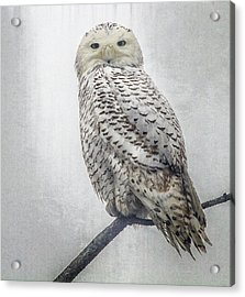 Acrylic Print featuring the photograph Snowy Owl In The Rain by Constantine Gregory