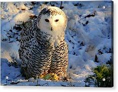 Snowy Owl Acrylic Print by Larry Trupp
