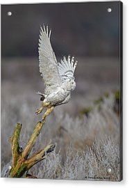 Acrylic Print featuring the photograph Snowy Owl Liftoff by Daniel Behm