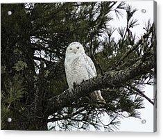 Snowy Owl Acrylic Print by Melissa Petrey