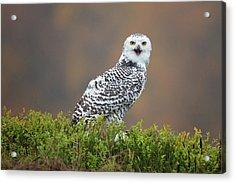 Snowy Owl Acrylic Print by Milan Zygmunt