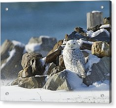Snowy Owl On A Rock Pile Acrylic Print