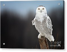 Snowy Owl Pictures 13 Acrylic Print