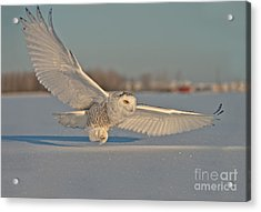 Snowy Owl Pictures 7 Acrylic Print by Michael Cummings